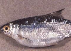черви в теле рыбы