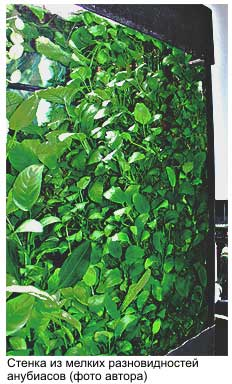 Anubias Plants For Beginners And Hobbyists Toptropicals Com