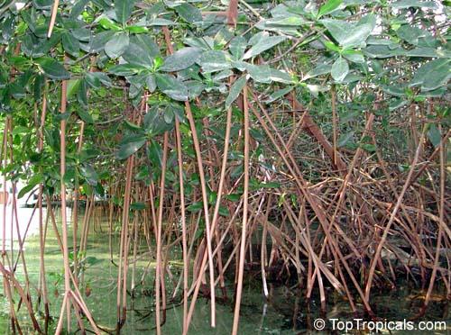TopTropicals.com? rare tropical plants for home and garden
