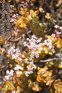 Crassula rupestris, Kebab Bush, Concertina Bush, Bead Vine, Rosary Vine  Click to see full-size image