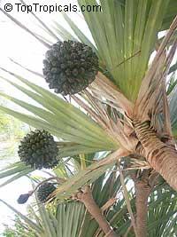 Pandanus tectorius, Pandanus spiralis, Screw Pine, Screw PalmClick to see full-size image