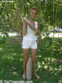 Kigelia pinnata - Sausage tree  Click to see full-size image
