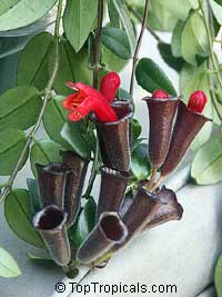 Aeschynanthus radicans - Lipstick Plant  Click to see full-size image