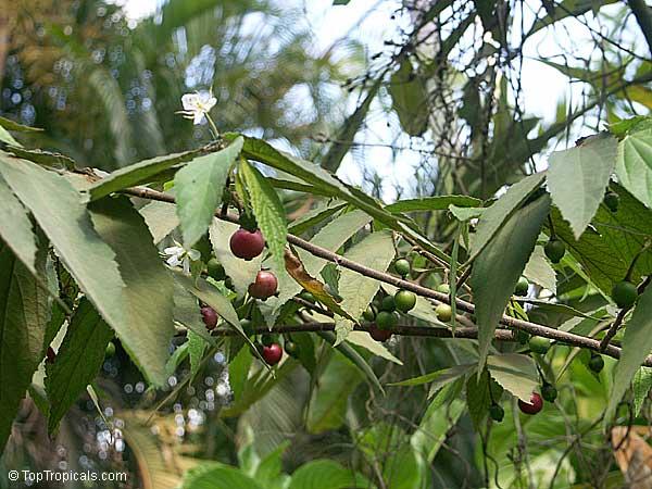 muntingia calabura tea Free essay: valenzuela city science high school a marcelo stdalandanan,  valenzuela city the feasibility of ripe aratiles (muntingia.