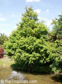 Taxodium mucronatum, Taxodium mexicanum, Cuprespinnata mexicana, Montezuma Baldcypress, Mexican Cypress, Tree of Tule  Click to see full-size image