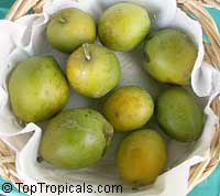 Casimiroa edulis, White Sapote