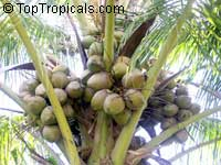 Cocos nucifera - Coconut palm