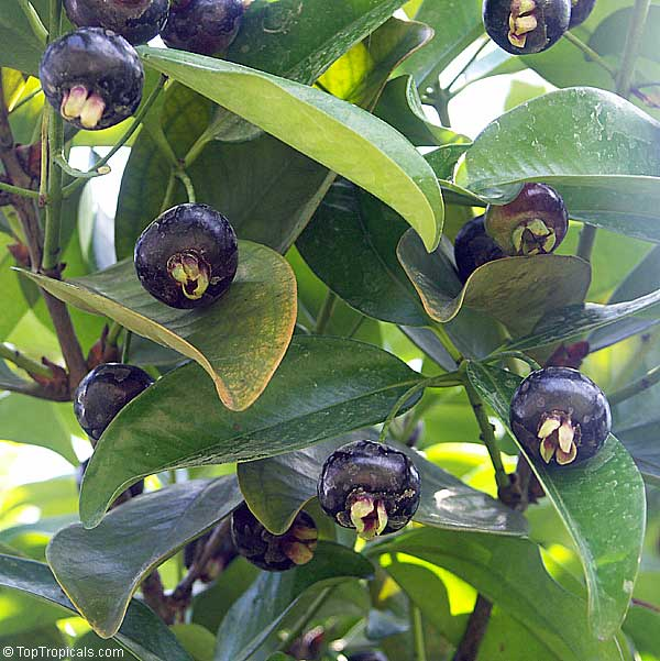 Eugenia Braziliensis Dombeyi Grumichama Click To See Full Size Image