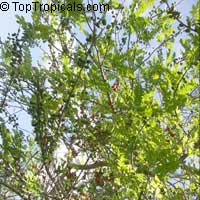 Spondias purpurea, Purple Mombin, Hog Plum, Ciruela, Jocote  Click to see full-size image