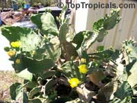 Opuntia phaeacantha, Opuntia engelmanii, Prickly PearClick to see full-size image
