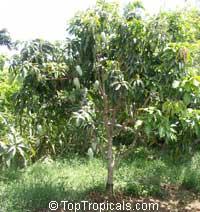 Mangifera indica Nam Doc Mai, Mango Nam Doc Mai  Click to see full-size image