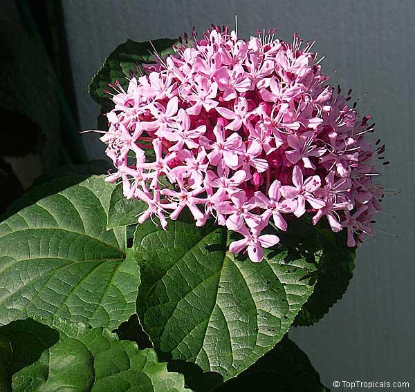 Tropical plant catalog - TopTropicals.com