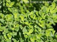 Satureja viminea, Costa Rican / Jamaican Mint Tree, Kama Sutra Menta  Click to see full-size image
