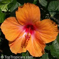Hibiscus Orange Lagos, Hibiscus Orange Lagos  Click to see full-size image