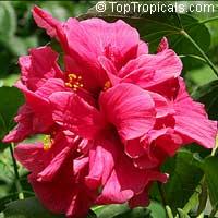 Hibiscus Aurora, Hibiscus AuroraClick to see full-size image