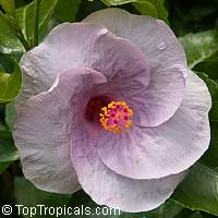 Hibiscus Kristen Coveny, Hibiscus Kristen Coveny  Click to see full-size image