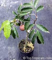 Litchi chinensis, Nephelium litchi, Lychee, lichee