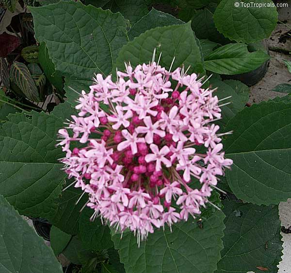 Clerodendrum bungei cashmere cashmir bouquet glory for Arbustos de jardin