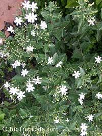 Jasminum molle, Jasminum auriculatum, Jasminum Molle, Indian JuiClick to see full-size image