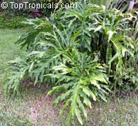 Philodendron bipinnatifidum, Philodendron selloum, Cut-leaf Philodendron, Tree Philodendron, Selloum, Self-header, Split leaf PhilodendronClick to see full-size image