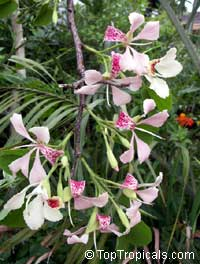 Bauhinia monandra, Orchid tree, Napoleon's plume  Click to see full-size image
