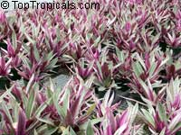 Tradescantia spathacea, Rhoeo spathacea, Tradescantia discolor, Boat lily, Rheo, Oyster plant, Moses-In-The-Boat