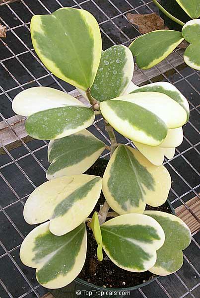 Hoya Kerrii Wax Hearts Sweetheart Hoya Valentine Hoya Heart Leaf