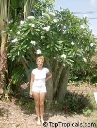 Pachypodium rutenbergianum - Madagascar PalmClick to see full-size image
