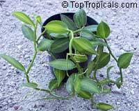 Vanilla planifolia - Bourbon Vanilla Bean, small sizeClick to see full-size image