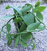 Vanilla planifolia, Vanilla fragrans, Madagascar Bourbon Vanilla Bean, French Vanilla, Vanilla Orchid  Click to see full-size image