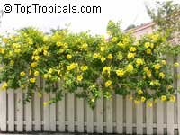 Allamanda hendersonii - Golden Trumpet Vine