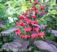 Clerodendrum paniculatum, Pagoda Flower, Orange Tower Flower, Clerodendron