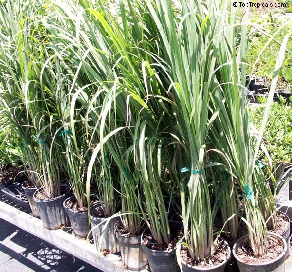 Cymbopogon Citratus Lemon Grass Oil Grass Toptropicals Com