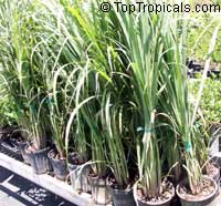 Cymbopogon citratus, Lemon Grass, Oil Grass  Click to see full-size image
