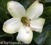 Fagraea ceilanica , Perfume Flower Tree, Pua Keni Keni, Trai Tichlan, Lau binh, Gia  Click to see full-size image