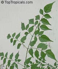 Millingtonia hortensis, Tree Jasmine, Indian Cork Tree, Maramalli, Tamil, Akash neem  Click to see full-size image