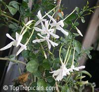 Jasminum angulare, South African Jasmine