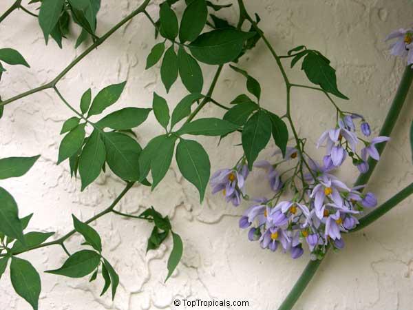 Solanum Seaforthianum Brazilian Nightshade St Vincent