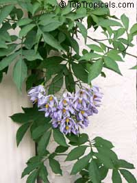 Solanum seaforthianum, Brazilian Nightshade, St. Vincent Lilac, Glycine, Italian Jasmine, Potato Creeper