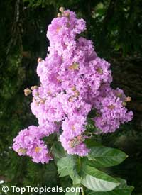 Lagerstroemia speciosa - Queen Crape Myrtle  Click to see full-size image
