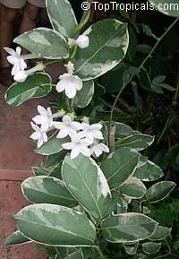 Stephanotis floribunda Variegated  Click to see full-size image