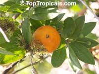 Rheedia aristata, Rheedia macrophylla, Cuban Mangosteen, Garcinia  Click to see full-size image