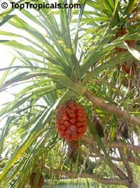 Pandanus odoratissimus, Pandanus fascicularis, Umbrella tree, Screw pine, Screw tree, Kewra, Kewda, Kewara  Click to see full-size image