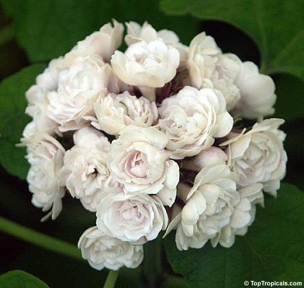 Clerodendrum philippinum, Clerodendrum fragrans pleniflorum ...