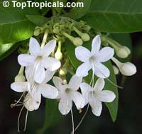 Clerodendrum heterophyllum (aculeatum) - Tree of Little Stars