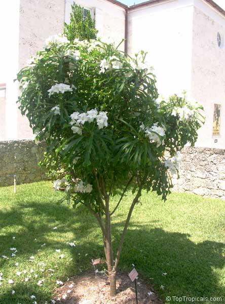 Plumeria Pudica Bridal Bouquet Toptropicals Com