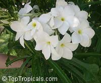 Plumeria pudica, Bridal bouquet  Click to see full-size image