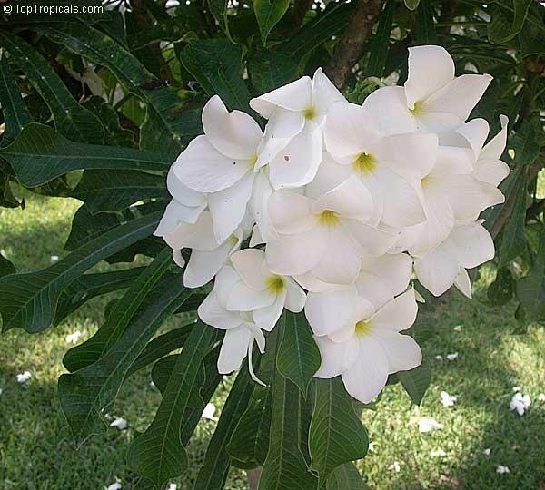 Bridal Flower Plants : Plumeria pudica bridal bouquet toptropicals