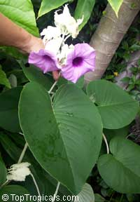 Argyreia nervosa, Argyreia speciosa, Elephant creeper; Woolly Morning Glory, Hawaiian Baby WoodroseClick to see full-size image