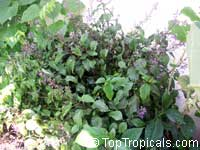 Plectranthus ecklonii, African Flower  Click to see full-size image